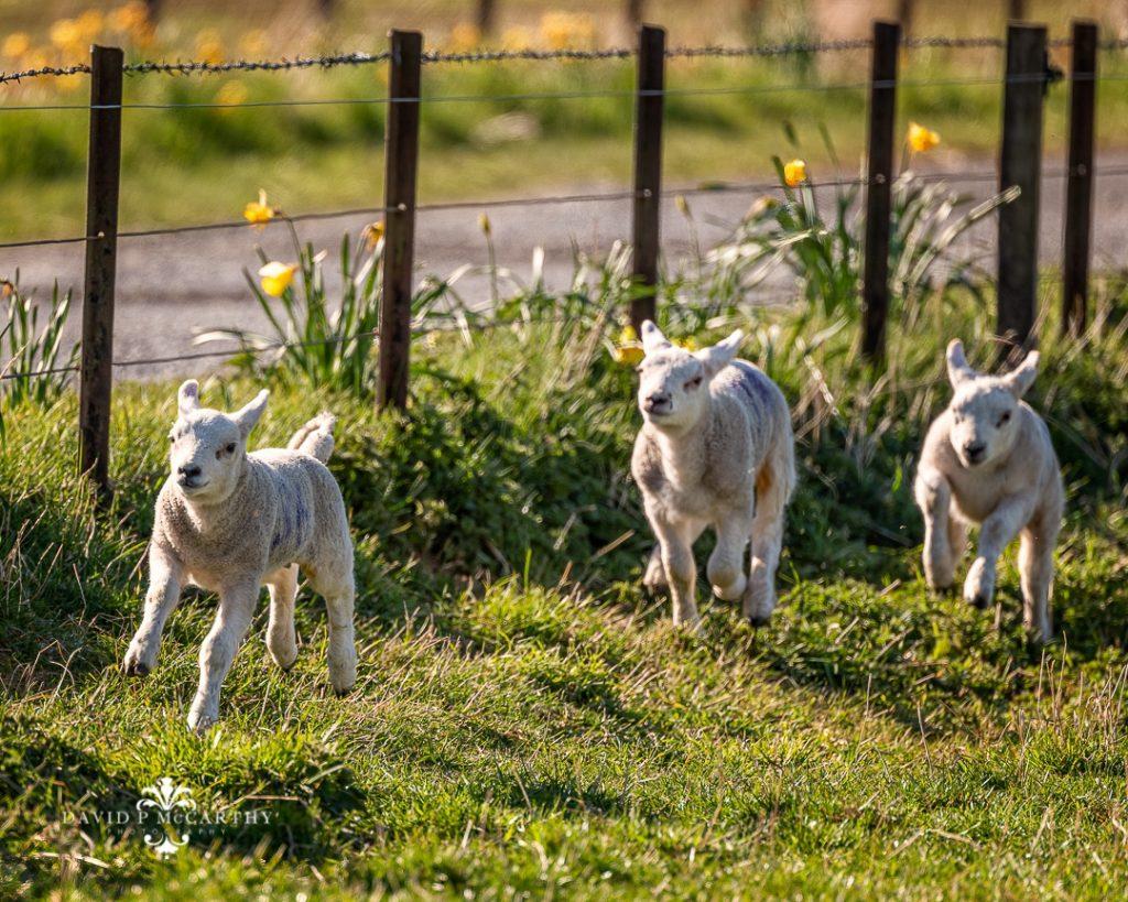 Lambs gamboling in the sun