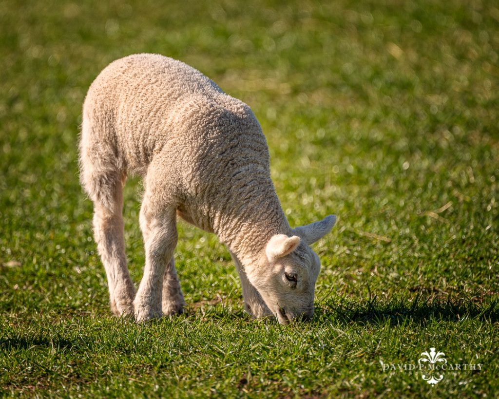 Lamb eating grass in the sun